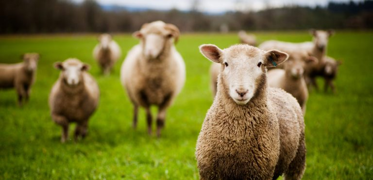 Counting Sheep Helps Falling Asleep: True or False?
