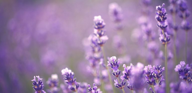 The Forgotten Secrets of Lavender for Sleep and Relaxation